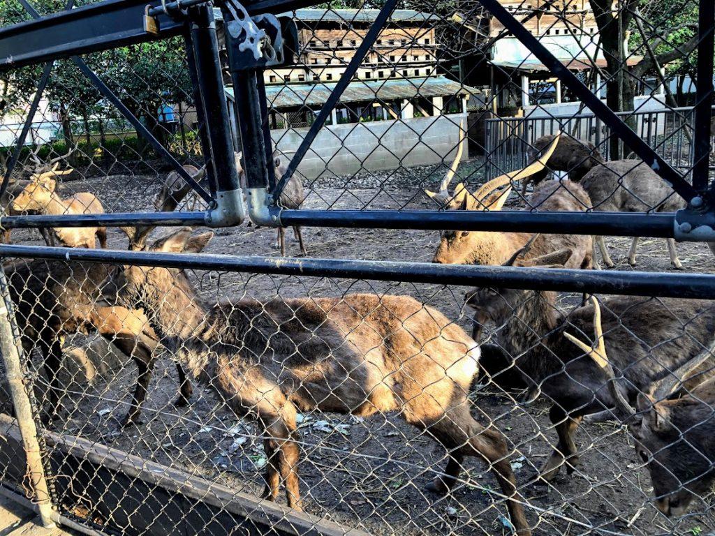 三嶋大社の鹿